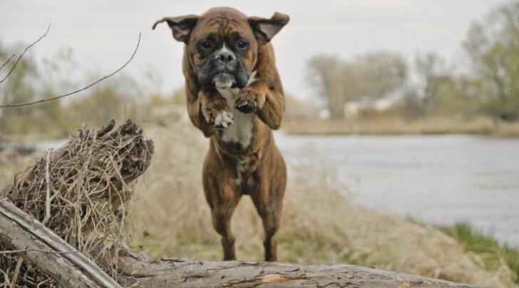 ÜRITUS: Vurr 2017 - lõbus võistlus kõigile koertele