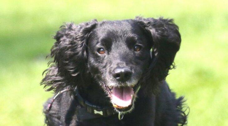 SAA TUTTAVAKS: Molly on maailmas ainulaadne koer, kelle tööks on läbi oskusliku triki päästa kaduma läinud kassid