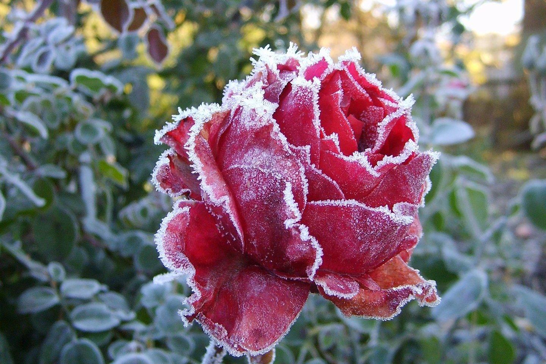 rooside istutamise aeg