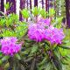 Rododendronipeenar