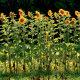 Taimede biomassid ja kütteväärtus