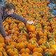 ФОТО. Все оттенки оранжевого: как выглядят тыквенные поля в Великобритании