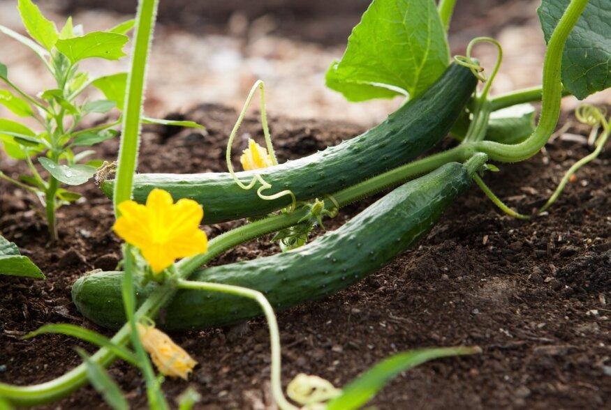 10 miljonit potti aastas: salatikasvatus ilma keemiliste taimekaitsevahenditeta Tartus