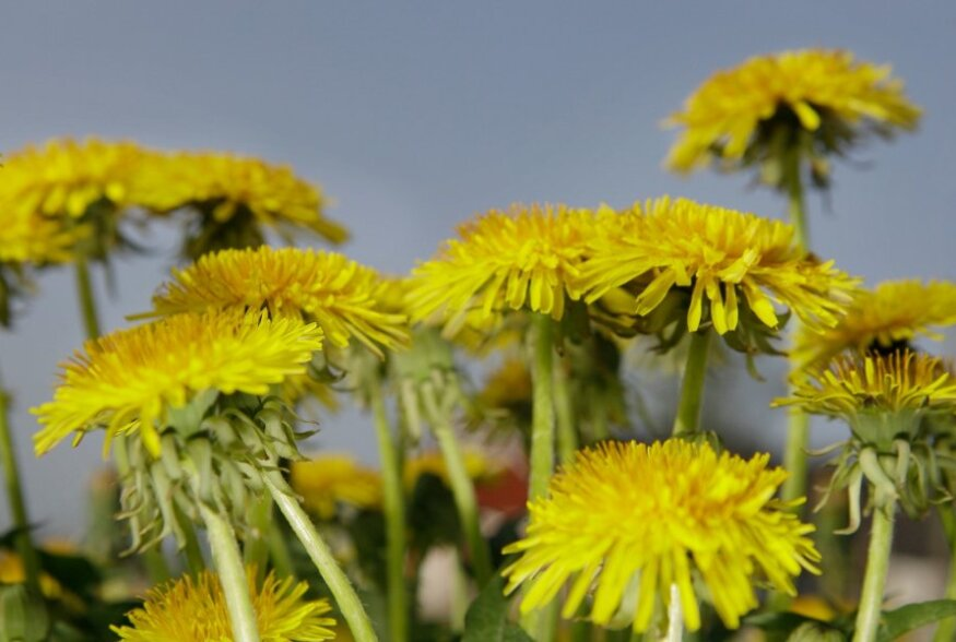Loodusest enesest: lisa see imeline taim oma menüüsse ja pakatad peagi tervisest