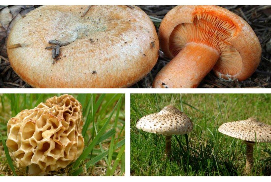 SEENETARKUS | Mida peaksime teadma Eesti kolme parima seene ehk sirmiku, mürkli ja porgandriisika kohta?