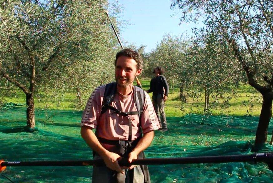 VIDEO: Vaadake, kuidas korjatakse Itaalias tänapäeval puudelt oliive