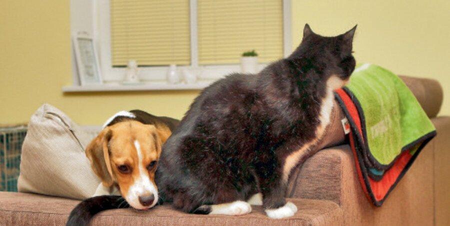 00724f484c3 Ent kass marssis pererahva südamesse ning hoiukodust sai päris kodu. Uueks  lemmikuks on Google, kes on 11kuune beagle kutsikas.