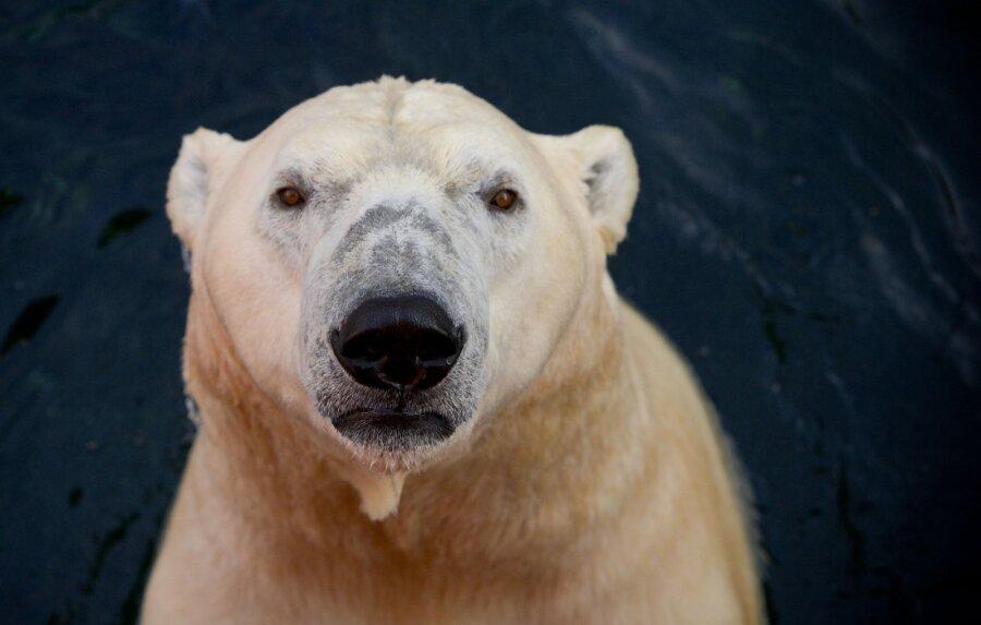 гороскоп для белого медведя