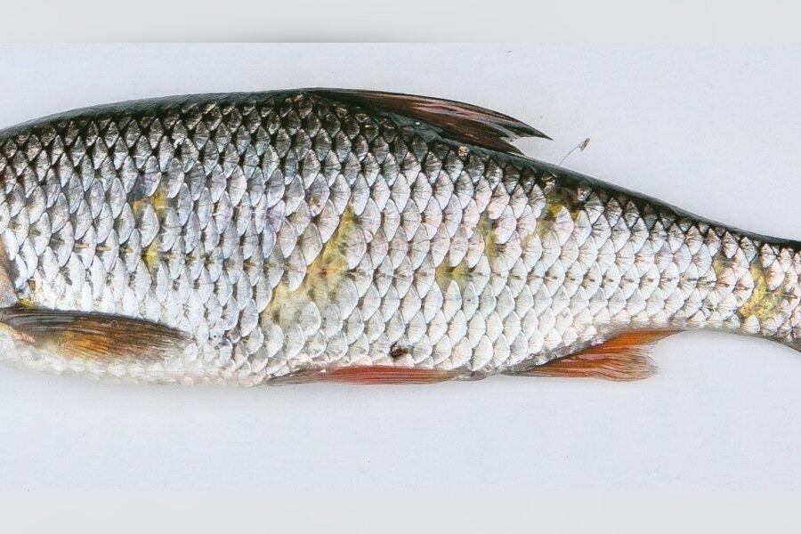 Sellised 50grammised särjed tulevad kalastaja õnge otsa kõige sagedamini, aga teab mis kulinaarset väärtust särjel paraku ei ole.
