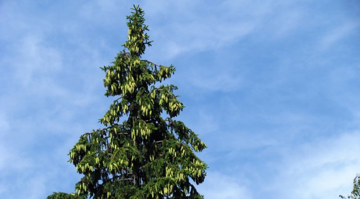 Leili metsalood | Vägev kuusekäbiaasta