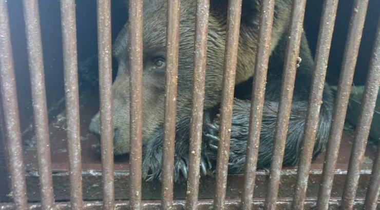 Keskkonnaamet tabas ühe Valgamaal tegutsenud Pihkva karu