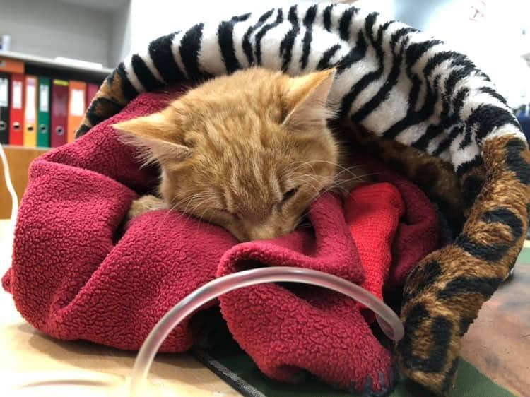 """<span>Kass Marten sai parvoviiruse diagnoosi 2018 aasta lõpus. Olukord tundus täiesti lootusetu, kuid kolme päevaga paranes tema seisund märkimisväärselt. Tänaseks on Marten päriskodus. Ta on rõõmus ja reibas.</span><span class=""""right"""">Foto: Pesaleidja MTÜ</span>"""