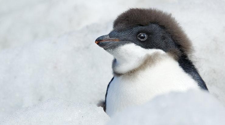 Keiserpingviinide kolooniat tabas katastroofiline järglaste hukk
