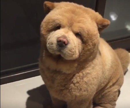 LIIGA NUNNU: Koer, kes näeb välja nagu karu