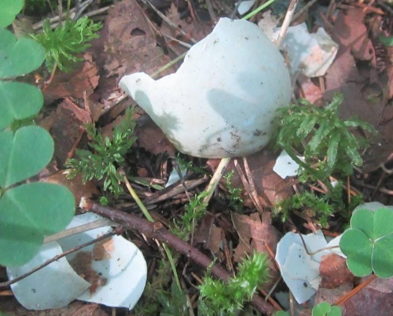 Velise jõe äärest leitud musta toonekure muna koored