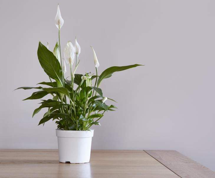 4d64e555ab6 Kui taim vajab ümberistutamist, siis tee seda kevadel ja istuta ta  happelisse toalillede mulda. Tõlvlehik ei taha otsest päikesevalgust.