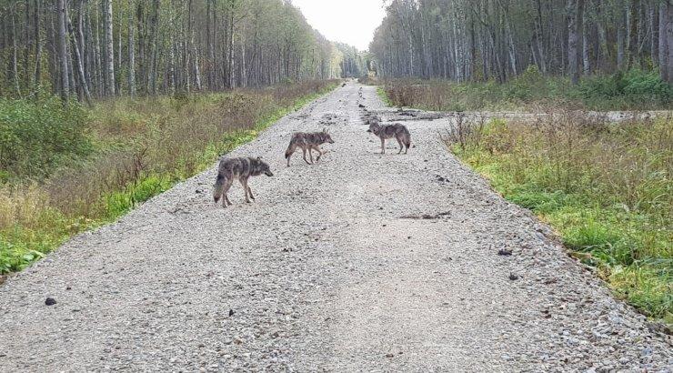 FOTOD | Raplamaal koeri kimbutanud kolm hunti arvatavasti näitasid end metsameestele ka paar päeva varem