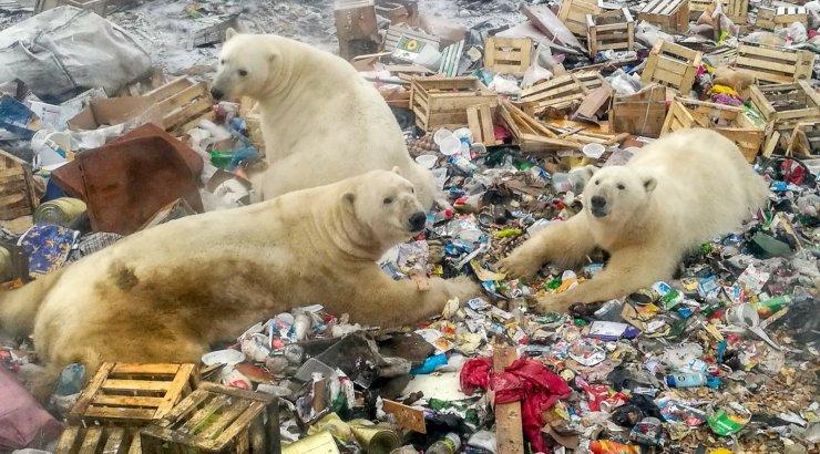 Nälginud jääkarude pealetung võib märkida kurva ajastu algust