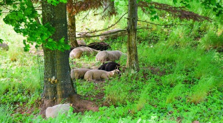FOTOD | Viljandi lossimägede nõlval alustasid tööd 13 lammast