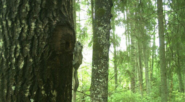 TARVILINE TARKUS   Kas ja kuidas on üldse võimalik majandada metsa, kus asub lendorava elupaik?