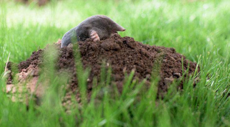 Nipid, millega teed kohe kindlaks, kas aias möllab mutt või mügri