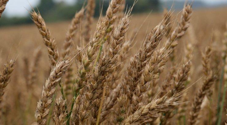 Kas põllumehed kasutavad enne viljakoristust tõesti glüfosaati?