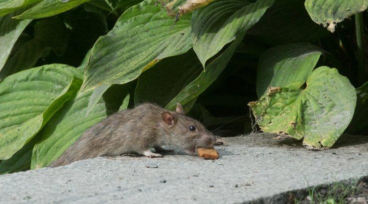 Новый вид крысы с пятачком вместо носа открыт в Индонезии ...: http://bublik.delfi.ee/news/tehno/novyj-vid-krysy-s-pyatachkom-vmesto-nosa-otkryt-v-indonezii?id=72630213