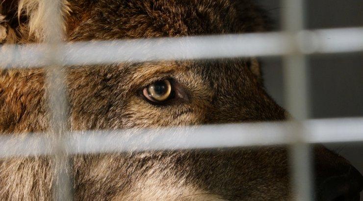 Aidu karjäärist leitud hukkunud loom oli Sindi hundi asemel hoopis koer