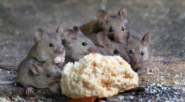 Euroliit keelas tõhusa hiiremürgi, aga närilised tungivad juba hoonetesse